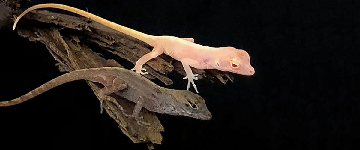 Wild-type and mutant Anolis