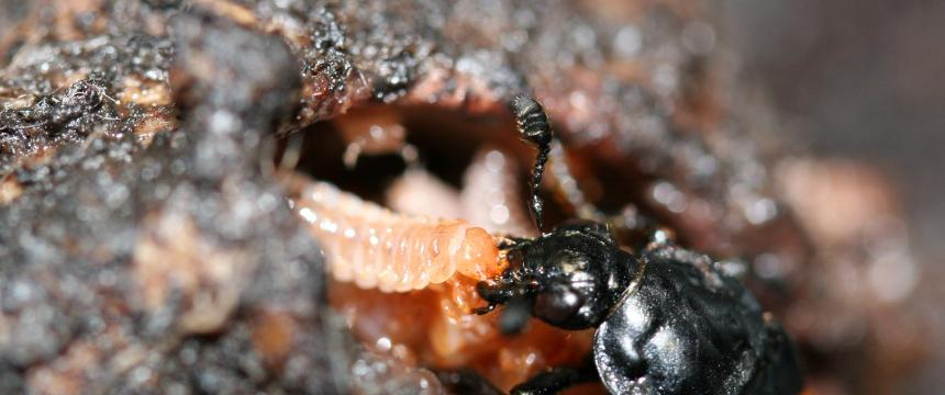 A female burying beetle feeds her begging young. The parent and offspring are in a mouse carcass prepared by the parent as food.