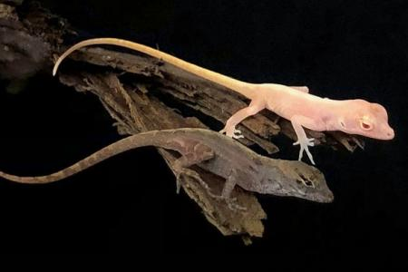 Anolis gene edit mutation